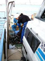 タイラギ漁