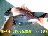 説明中に釣れた真鯛