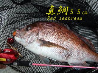 Red-seabream55cm
