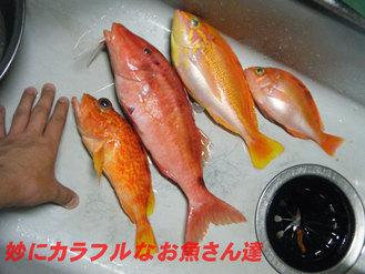 赤いお魚さん達