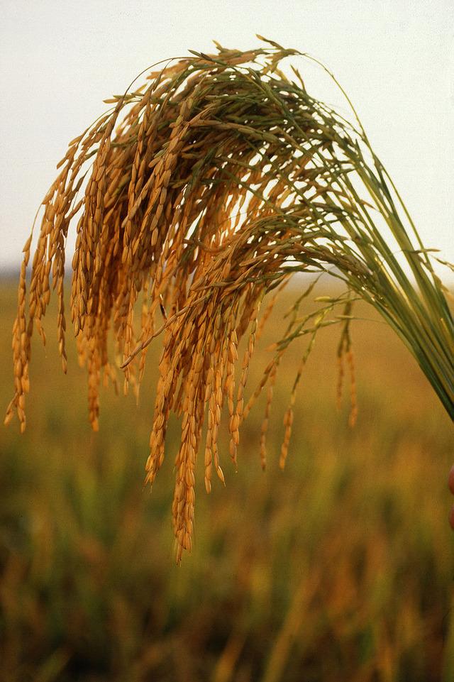 800px-US_long_grain_rice