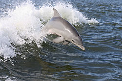 250px-Dolphin,2007-4-13