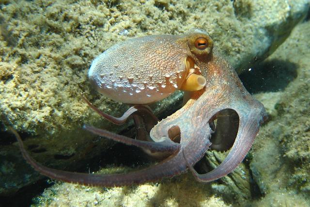 Octopus_vulgaris2