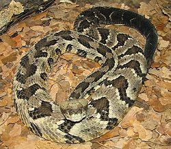 250px-Timber_Rattlesnake_Image_004