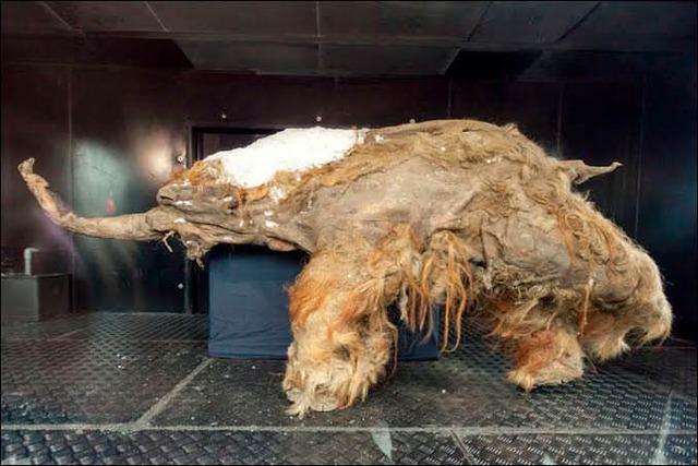 マンモスのミイラが凍土から発見されているという事実wwwwww