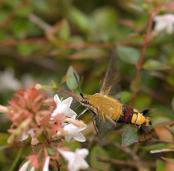 611px-Cephonodes_hylas_hylas_Linnaeus