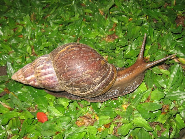 799px-Snail_in_Ubud,_Bali,_2010_(1)