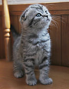 140px-Silver_tabby_Scottish_Fold_Kitten
