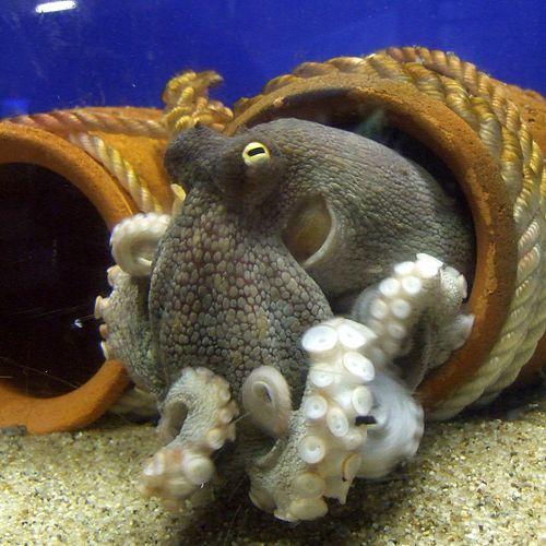 500px-Octopus_vulgaris