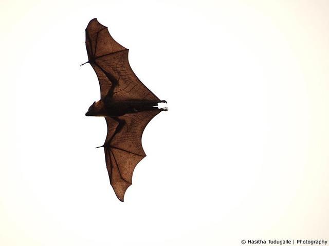 800px-Flying_fox_at_botanical_gardens_in_Sydney