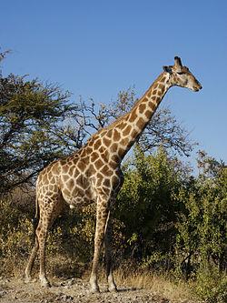 250px-Giraffa_camelopardalis_angolensis
