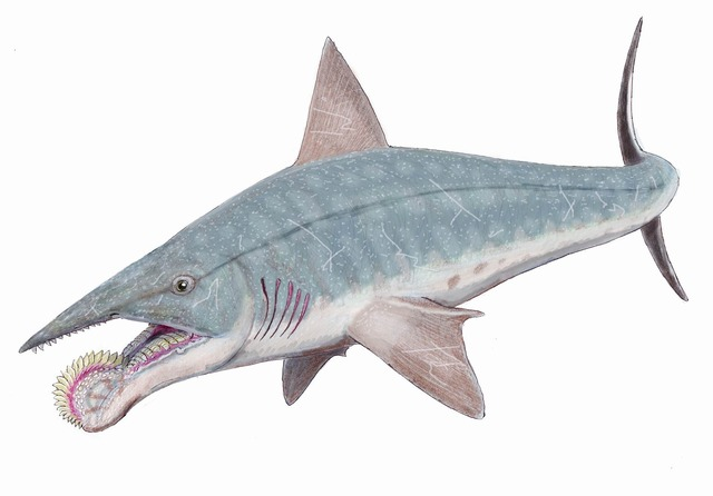 Helicoprion_bessonovi1DB