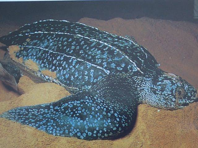 TortueLuth_Leatherback