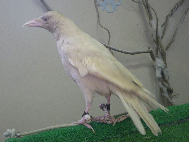 800px-Carrion_crow_Albino_20091101