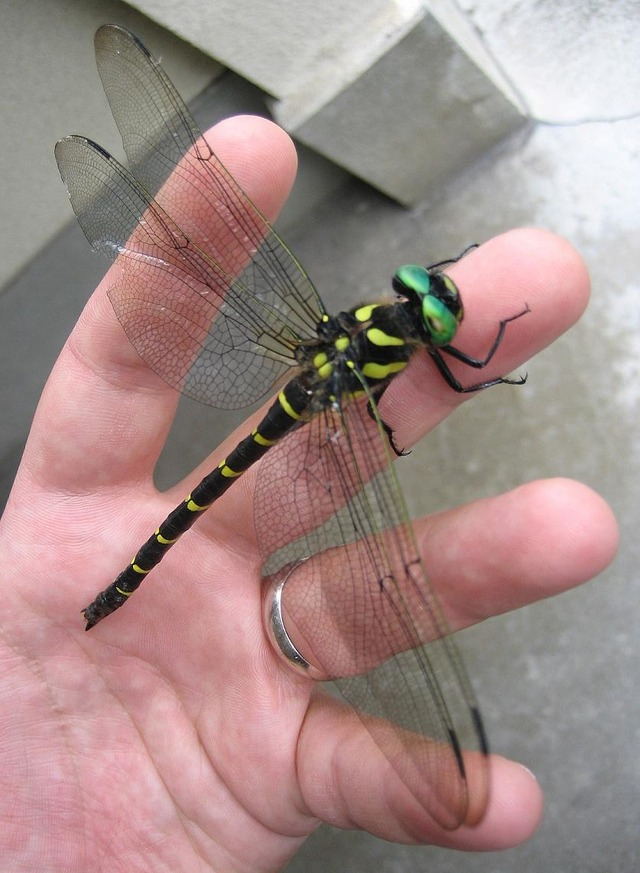 Anotogaster_sieboldii_in_hand