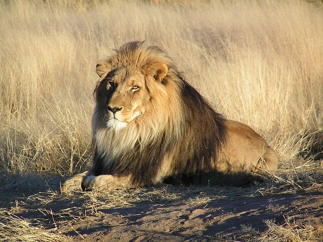 800px-Lion_waiting_in_Namibia