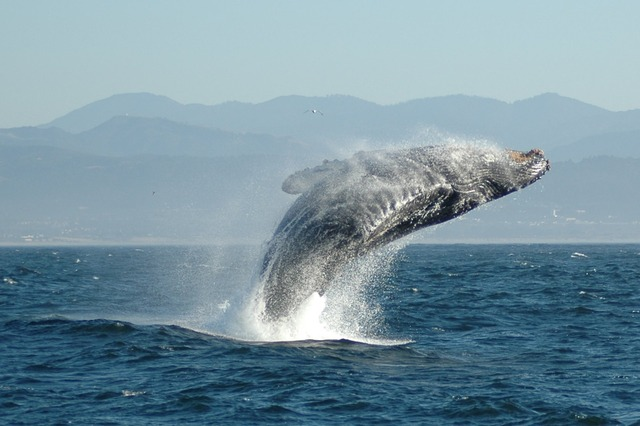 Jumping_Humpback_whale