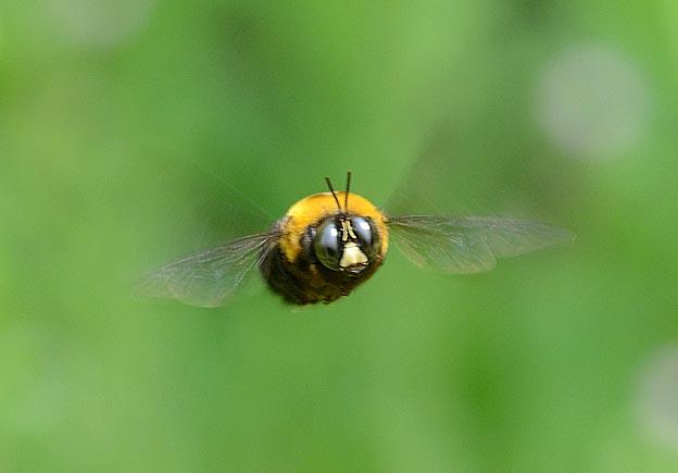 クマバチ:性質はきわめて温厚である。ひたすら花を求めて飛び回り、人間にはほとんど関心を示さない。
