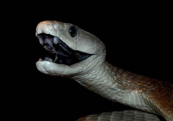 ブラックマンバとかいう世界最強の毒蛇