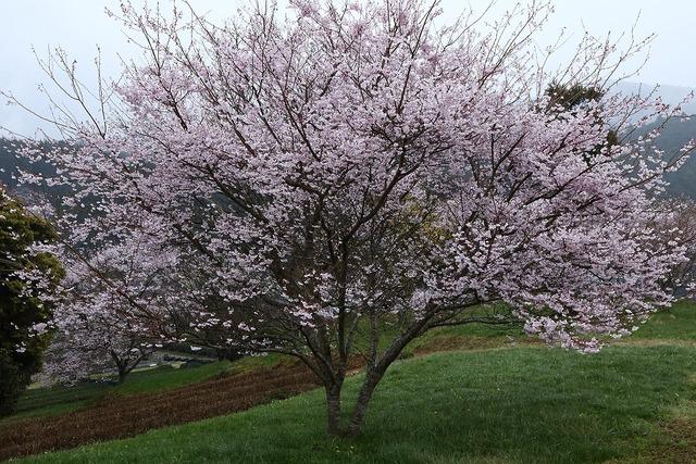 桜風景25-s