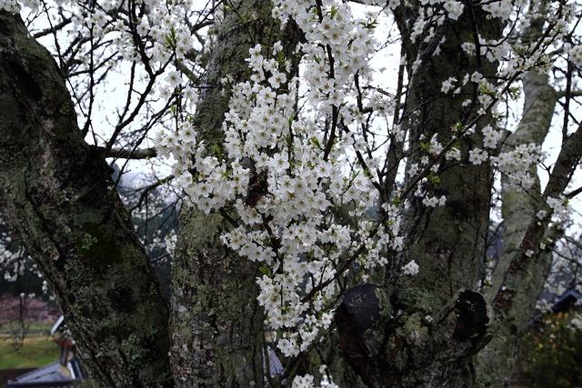 桜風景17-s
