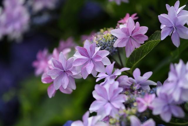 形原紫陽花3-s