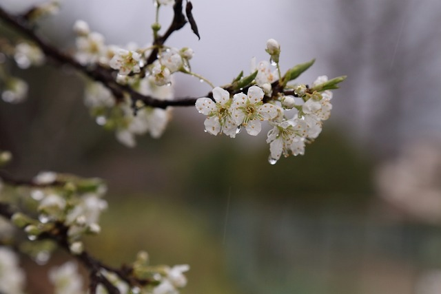 桜風景16-s