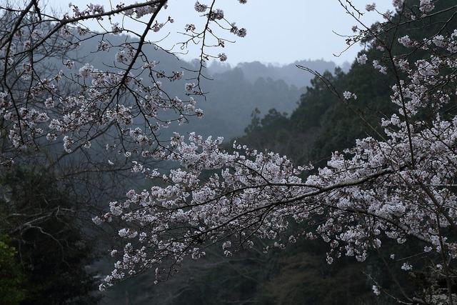 桜風景2-s