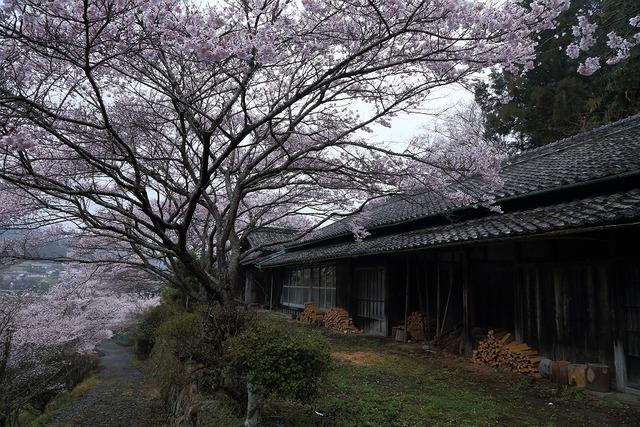 桜風景10-s
