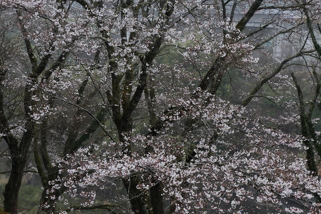 桜風景4-s