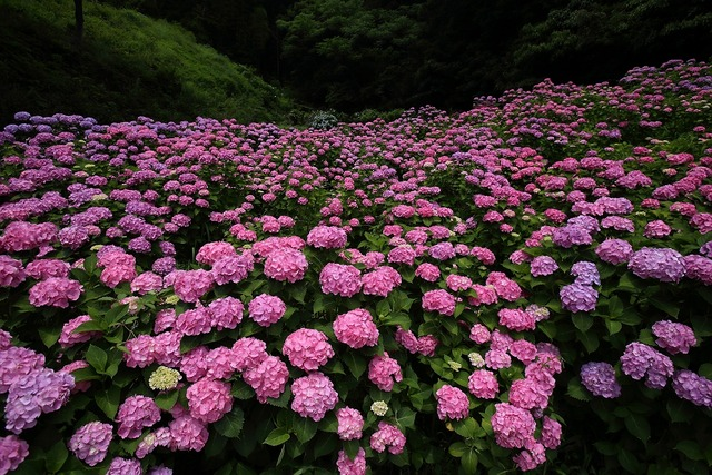 形原紫陽花8-s