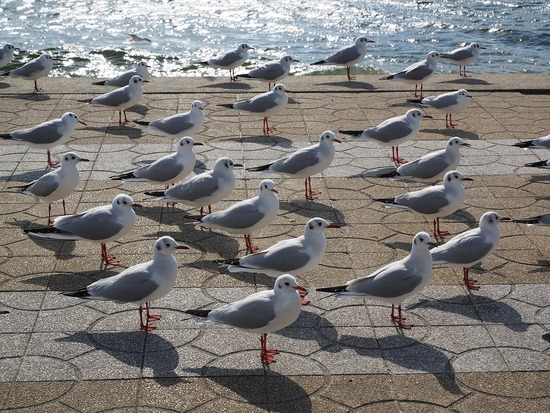 竹島とユリカモメ2-s