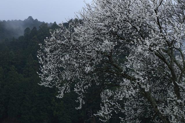 桜風景13-s
