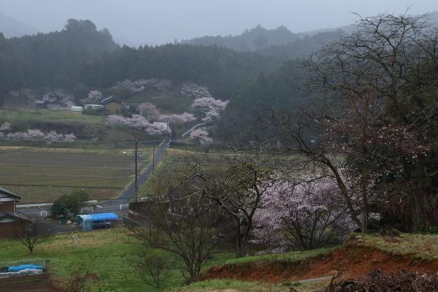 桜風景24-s