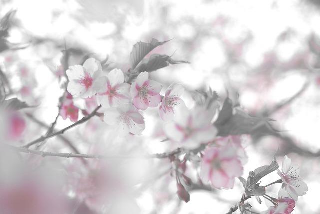 河津桜1-s