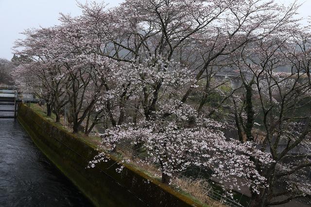 桜風景19-s