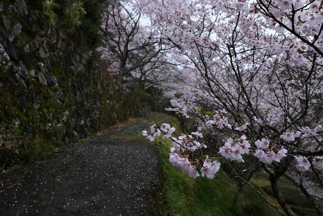 桜風景7-s
