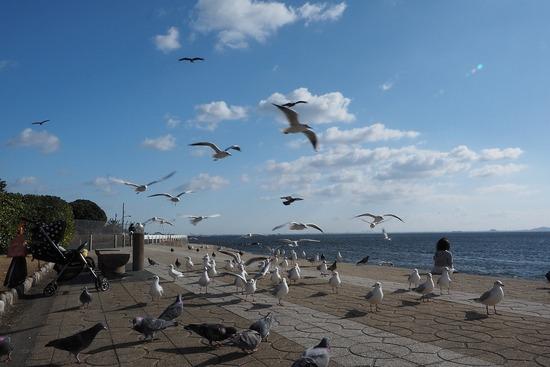 竹島とユリカモメ3-s