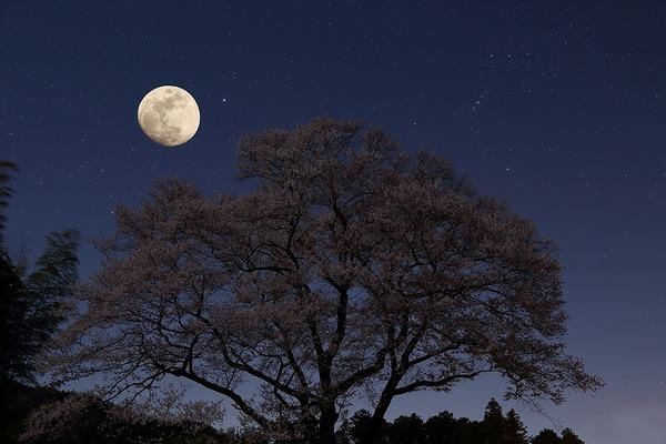 桜と満月-s
