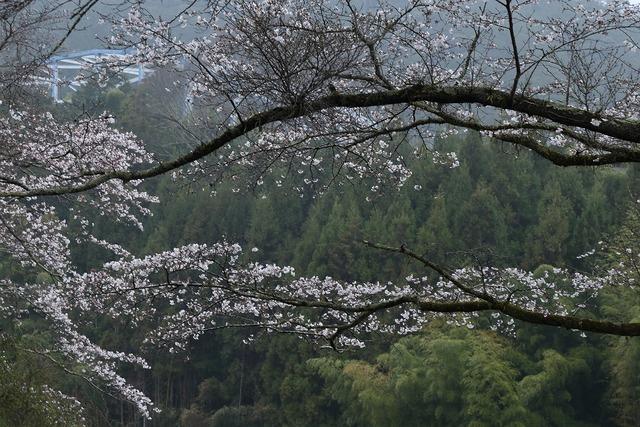 桜風景5-s