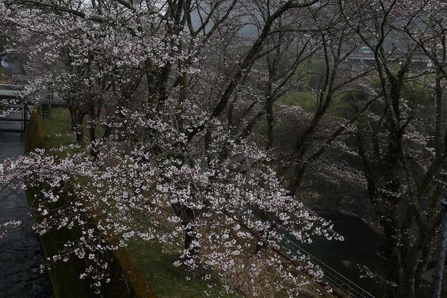 桜風景3-s