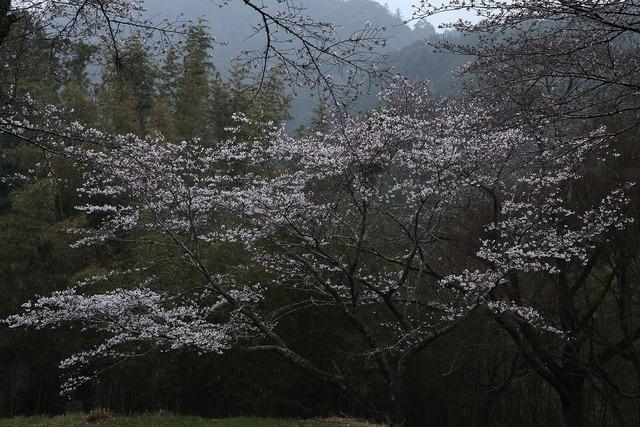 桜風景6-s
