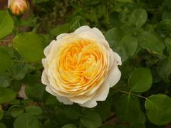 香りのバラ園