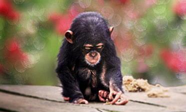 チンパンジー 共食い