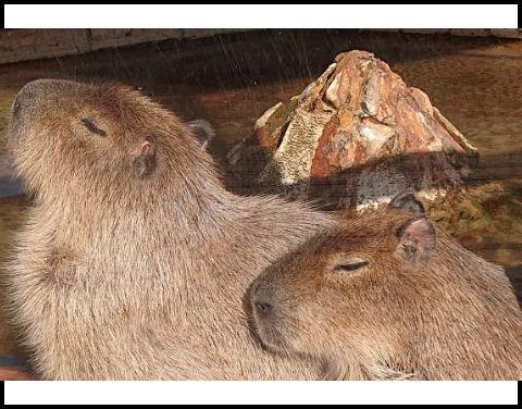 kapibarasann