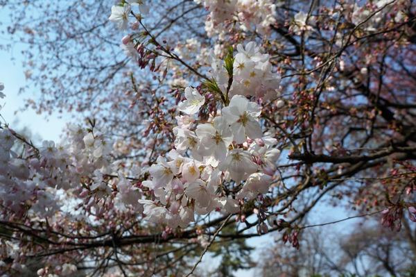 お花見 DSC03814 (2)