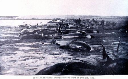 クジラの集団座礁。