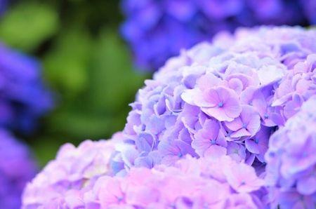 紫陽花は縁起悪いのか