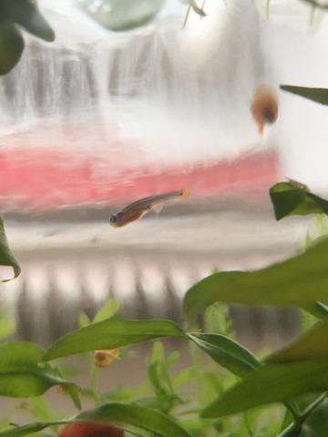アカヒレ 稚魚