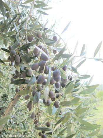 Olive metà Settembre 5
